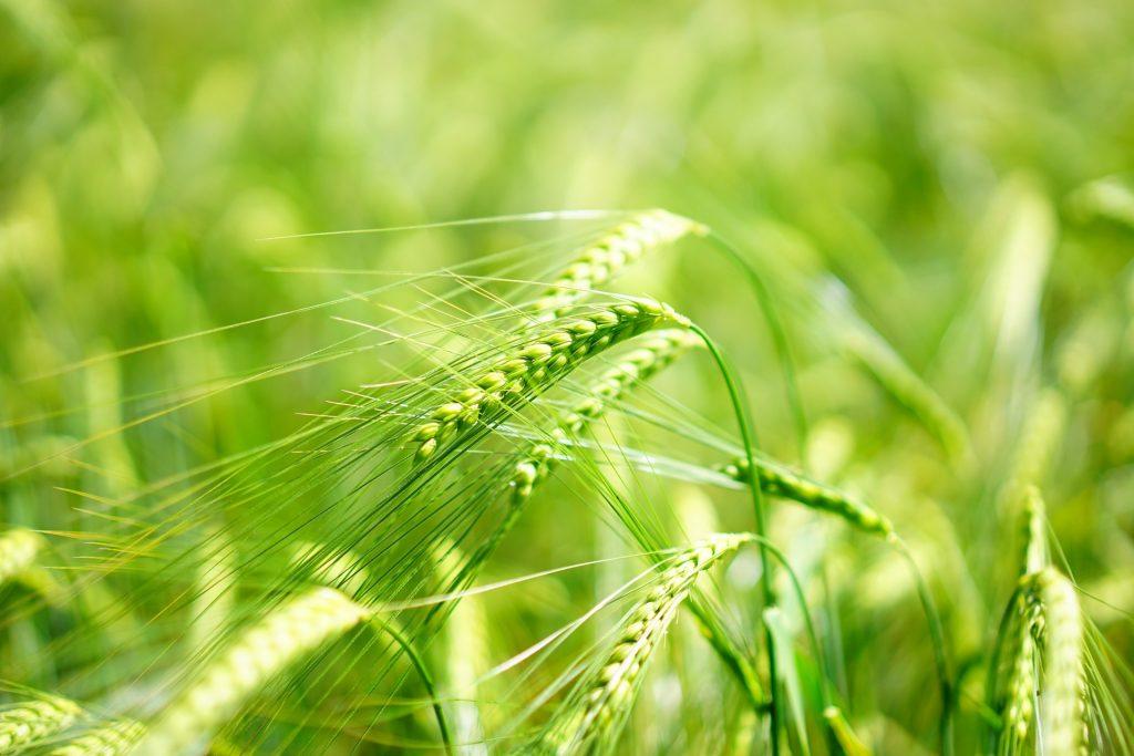 barley-1464772_1920